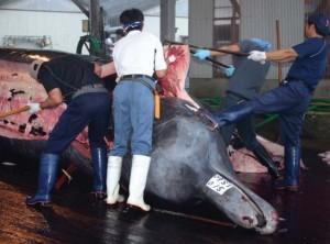 ツチクジラの解剖